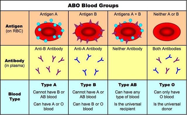bloedgroepen percentages