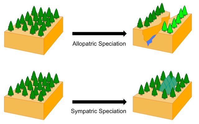 difference between allopatric and sympatric speciation When new species are formed from the preexisting species, it results in speciation when a population is segmented due to a physical and geographic barrier, such as a mountain or barrier, and the species diverges into two species due to restricted gene flow, the formation of a subspecies or new species is as a result of allopatric speciation.