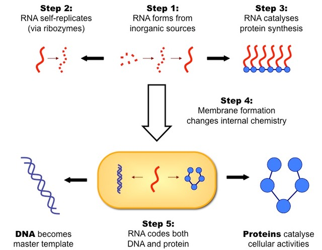 the role of dna and rna in protein synthesis