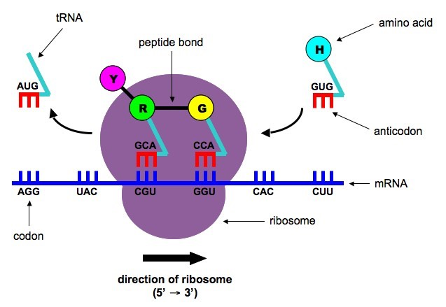 relationship between dna mrna and proteins